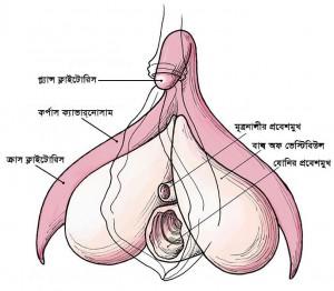 Clitoris_anatomy_labeled-bn