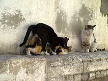 220px-Cats_having_sex_in_Israel