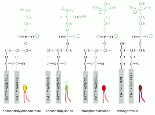 Figure 10-12. Four major phospholipids in mammalian plasma membranes.