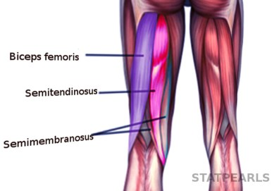Figure, Hamstring muscles. Image courtesy S Bhimji MD] - StatPearls - NCBI Bookshelf