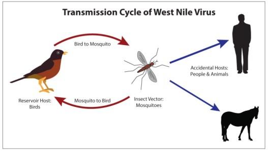 Figure, Transmission Cycle of West Nile Virus. Contributed Illustration by  Bryan Parker] - StatPearls - NCBI Bookshelf