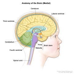 Brain Diagram Inside 1995 Acura Integra Alarm Wiring Figure Anatomy Of The Pdq Cancer Information Drawing Showing Lateral Ventricle Third Fourth