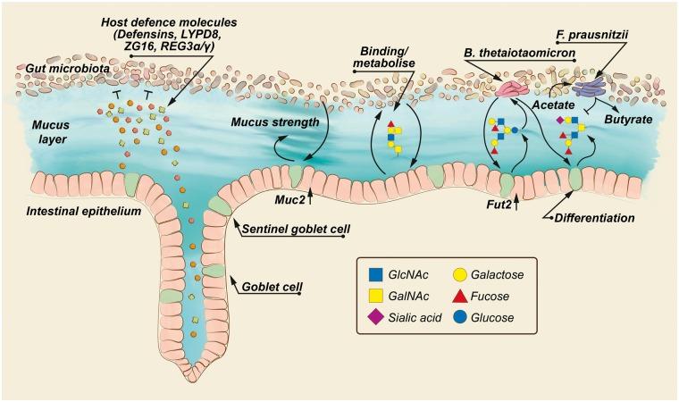 mucosal layers