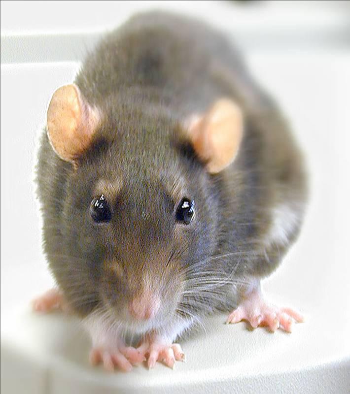 https://i0.wp.com/www.ncbi.nlm.nih.gov/projects/genome/guide/img/rat2.jpg