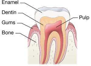 Dental Pulp  National Library of Medicine  PubMed Health