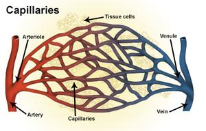 Capillaries National Library Of Medicine PubMed Health