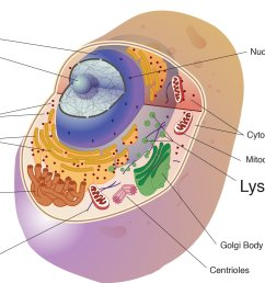 lysosomes are spherical membranous sacs of enzymes these enzymes are acidic hydrolase enzymes that can digest cellular macromolecules  [ 1916 x 1341 Pixel ]