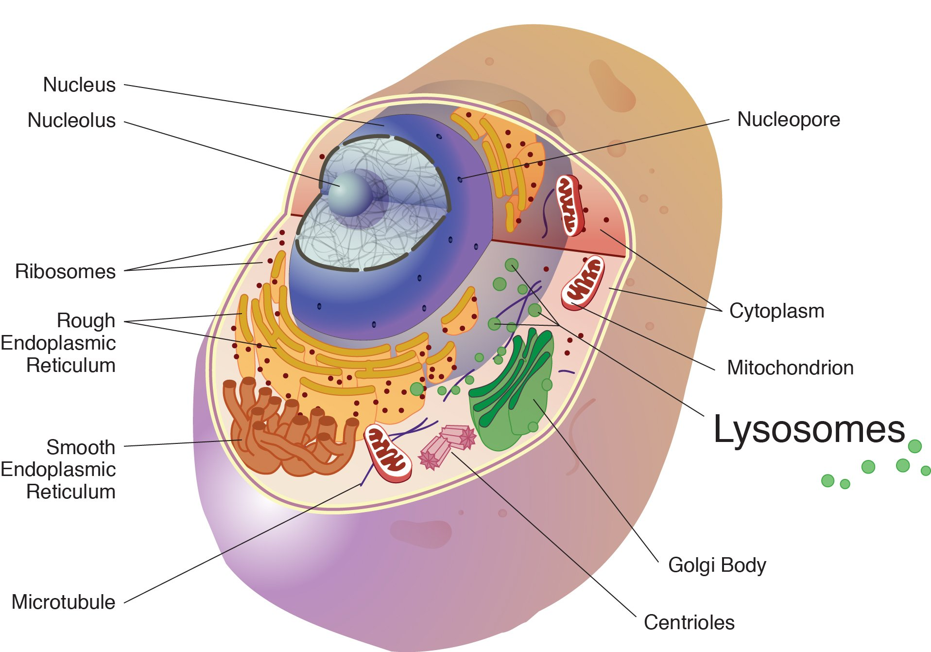 hight resolution of lysosomes are spherical membranous sacs of enzymes these enzymes are acidic hydrolase enzymes that can digest cellular macromolecules