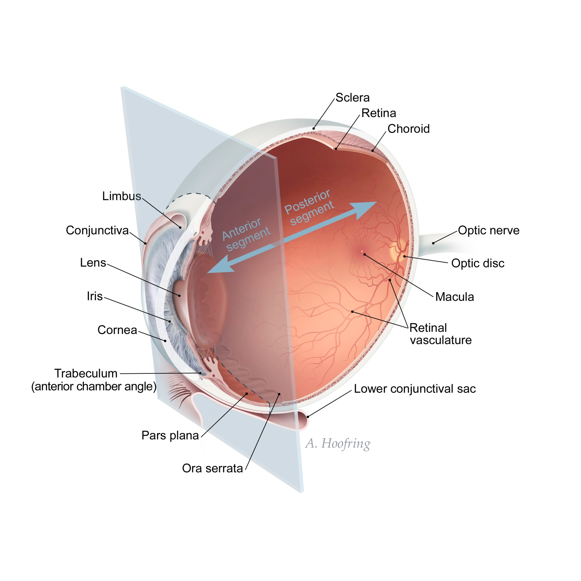 hight resolution of the gallery for gt ora serrata simple diagram of the eye eye diagram label