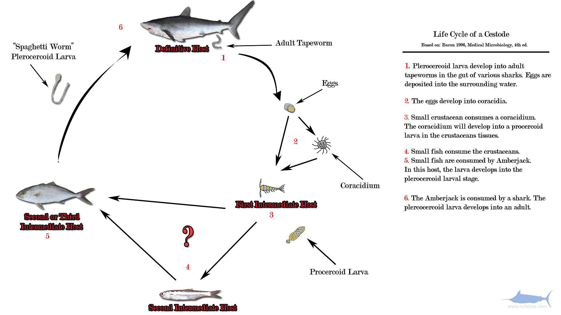 hight resolution of the life cycle of a cestode amberjack worm