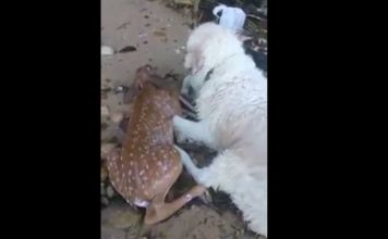Dog Saves Deer