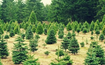 Christmas Tree North Carolina