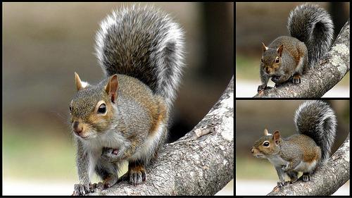 mammal gray squirrel ncpedia