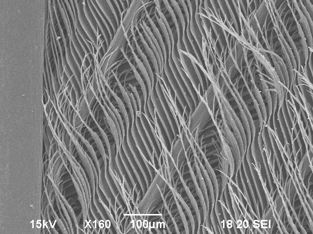 Feathers  Electron Microscopy Center  NDSU