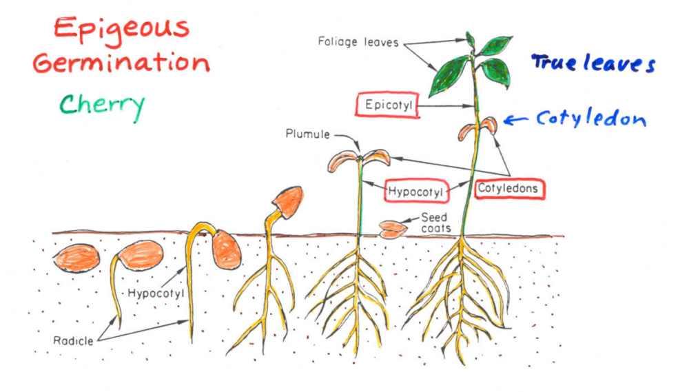 medium resolution of e germination