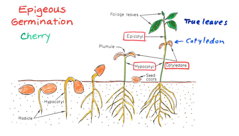 hight resolution of e germination