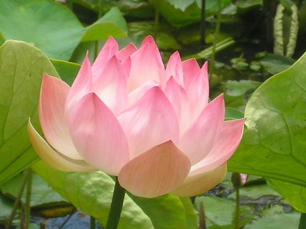 lotus in water plant diagram ibanez guitar pickup wiring flower