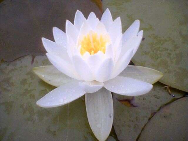 lotus in water plant diagram itil v3 flower by liz larson