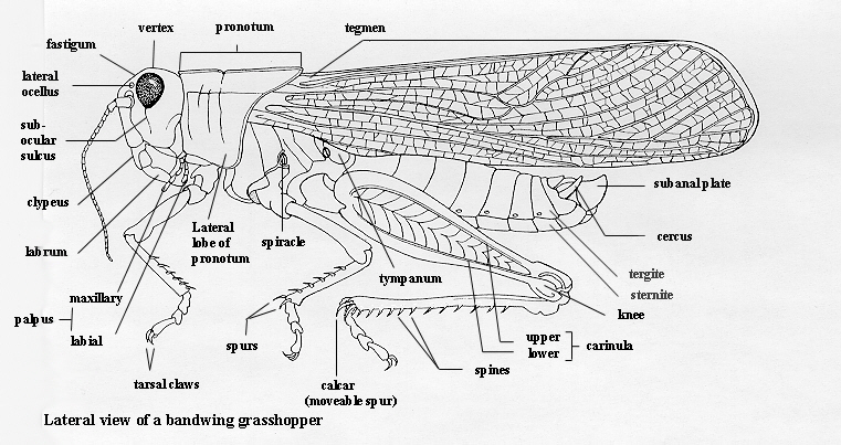 Orthoptera Of The Northern Great Plains