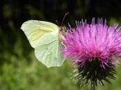 Papillon ML