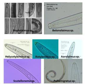 nematodos importantes
