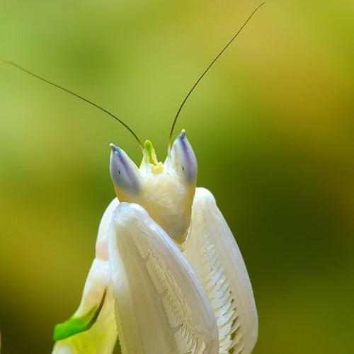 Cute Princess Live Wallpaper 15 Incredible Flower Praying Mantis Pictures Neatorama