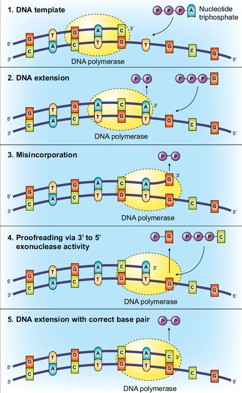 Anatomy of a Polymerase - How Function and Structure are Related | NEB