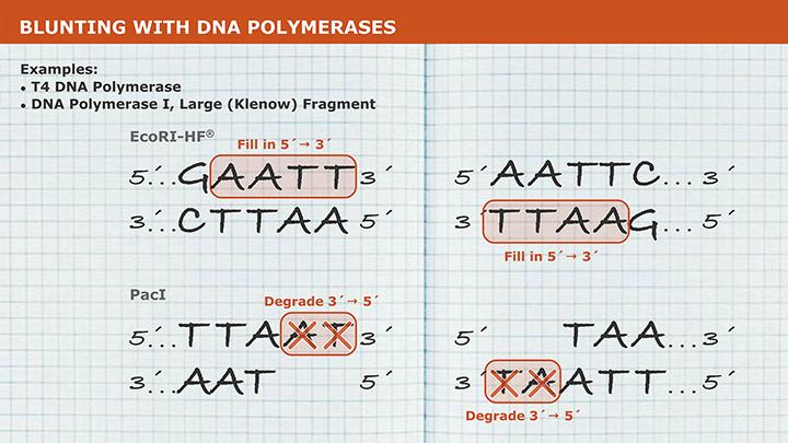 t4 polynucleotide kinase neb