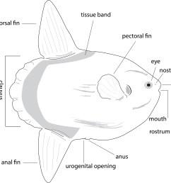 ocean sunfish body structure [ 3010 x 2916 Pixel ]