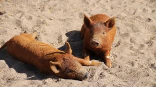 Zehn Wochen alte Wollschweinferkel genießen die Sonne   Foto: Elmar Herding