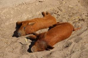 Wollschweine im Herzogenriedpark   Foto: Elmar Herding