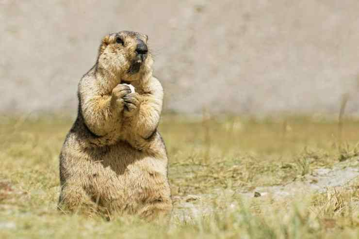 Groundhogs are Whistlers