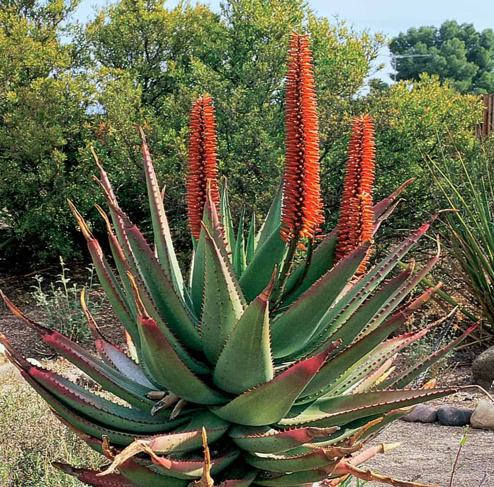 Benefits Of Cape Aloe or Aloe Ferox