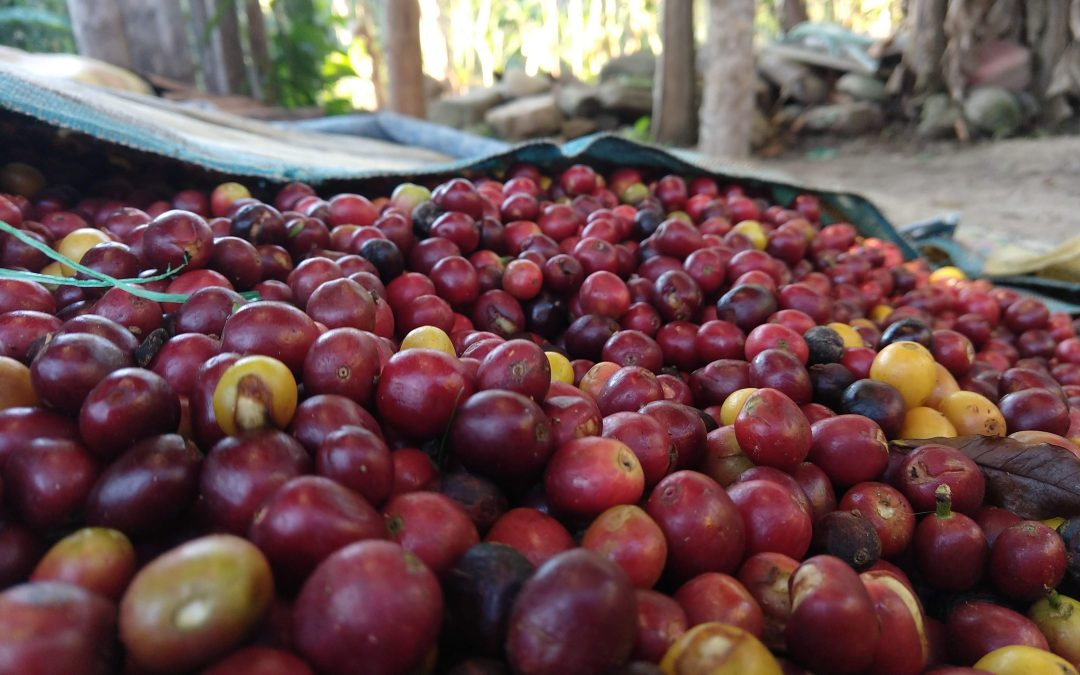 Organic Coffee Beans: Introducing Bolivia Caranavi