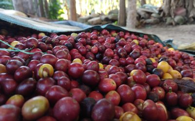 Organic Coffee Beans: Introducing Bolivia Caranavi