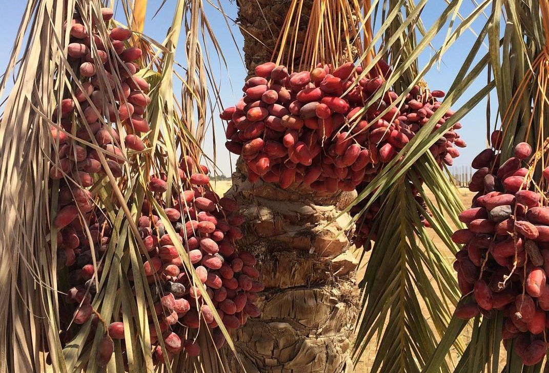 ripe red dates on a palm tree against a blue sky