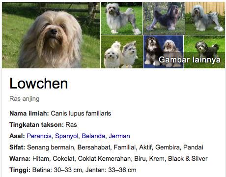 Anjing terlucu didunia Lowchen