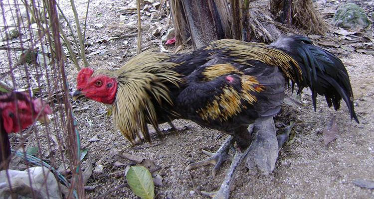 Cara Merawat Ayam Aduan Yang Perlu Diketahui
