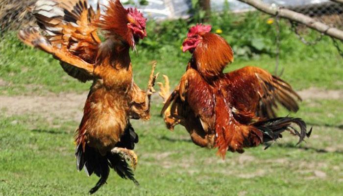 Cara Untuk Merawat Jalu Ayam S128