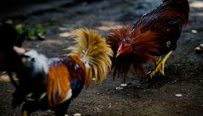 Teknik Nyayap Berkualitas Pada Sabung Ayam