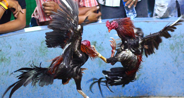 Rahasia Melatih Pukulan Maut Ayam Bangkok