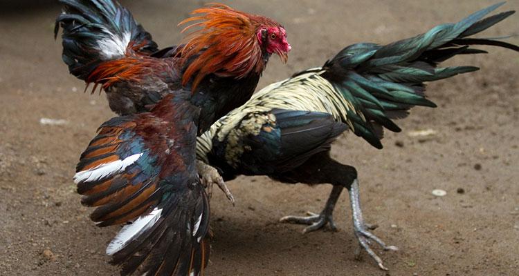 Cara Memilih Bibit Ayam Bangkok yang Bagus
