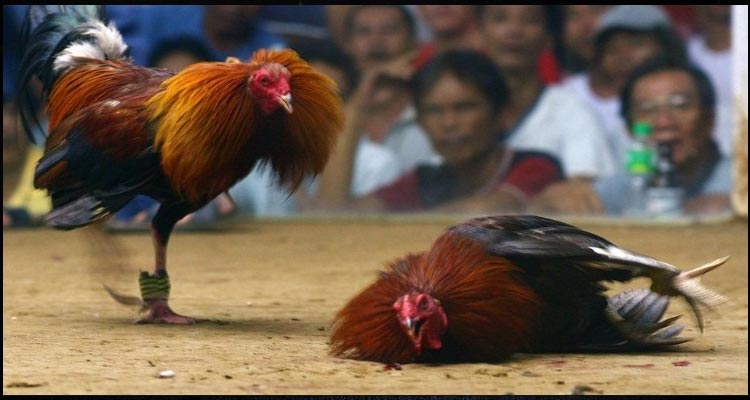 Perawalan Alami Bagi Ayam Sabung S128