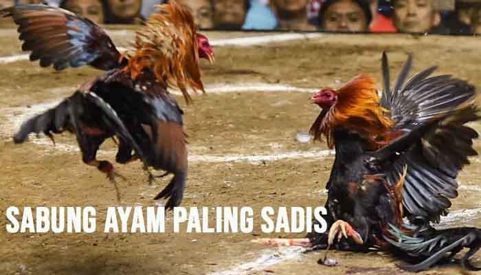 Sabung Ayam Paling Sadis