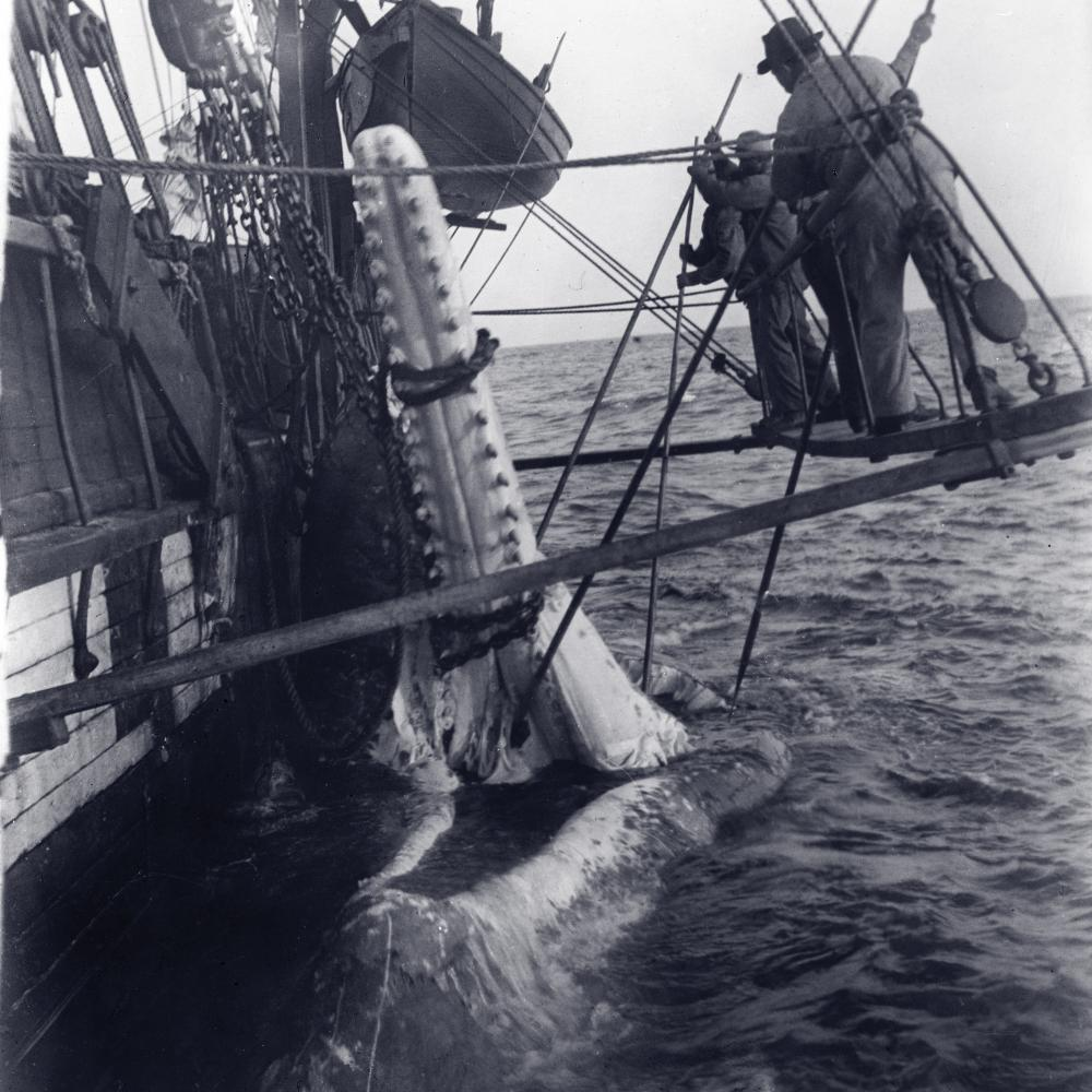 black and white photo of two men suspended beside boat removing a whale s jaw [ 1000 x 1000 Pixel ]