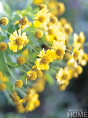 Classic New England flowers like coreopsis light up the perennial border.