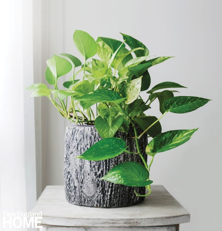 A pothos plant in a gray container that looks like tree bark. The container is on a white-washed table.