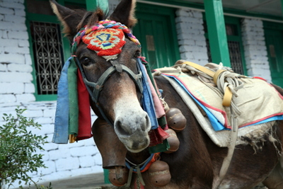 Dressed up donkey in Annapurna Sanctuary, Nepal