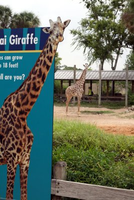 Giraffe standing in front of giraffe billboard