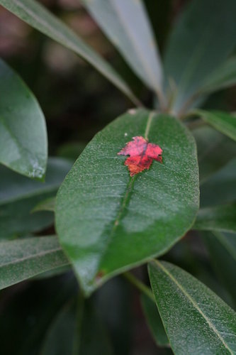 small red leaf on larger green leaf
